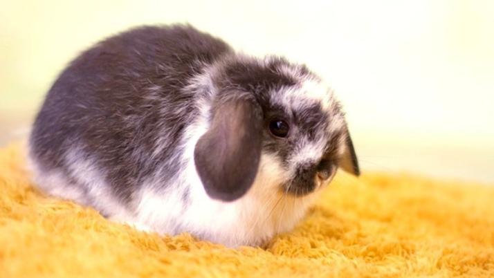 Основы по уходу за декоративными кроликами