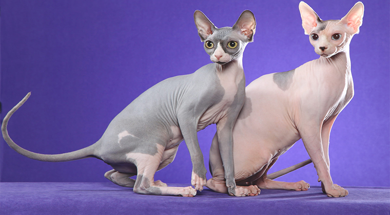 Особенности ухода за лысыми кошками