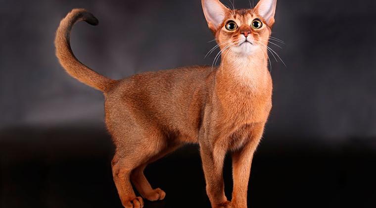 Груминг абиссинской кошки