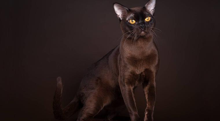 Бурманская кошка: ежедневный груминг