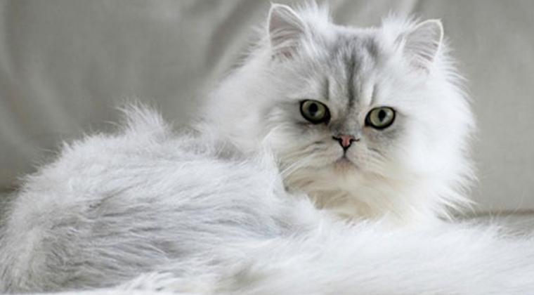 Персидская кошка: ежедневный груминг