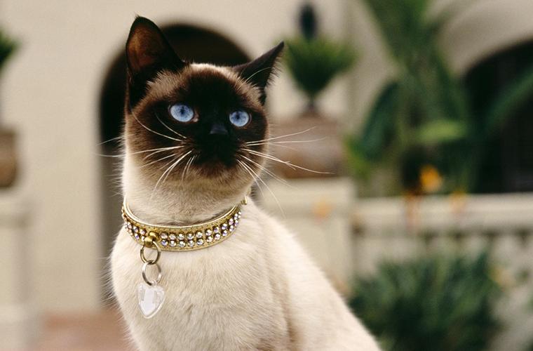 Сиамская кошка: здоровье и красота