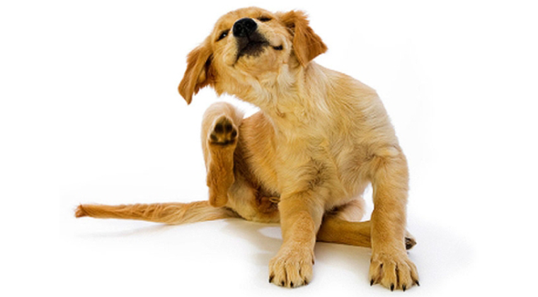 Кожные заболевания у собак: предупрежден — значит вооружен!