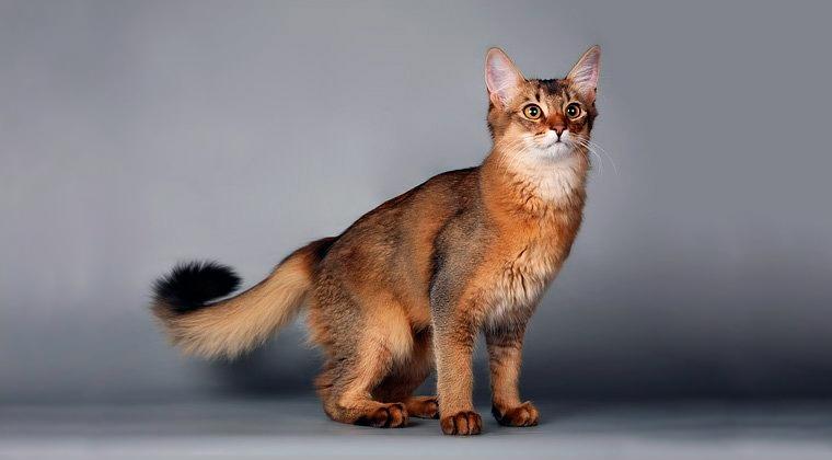 Сомалийская кошка: основы по уходу